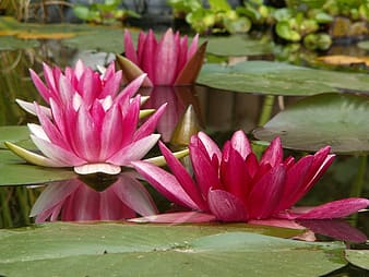 Selective focus photo of pink Lotus flower