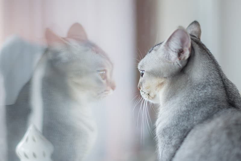 Short-fur gray cat facing in the mirror