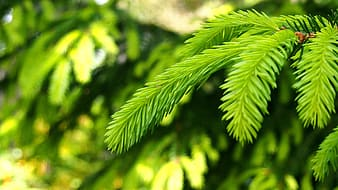 Selective focus photography of green pine tree leaves
