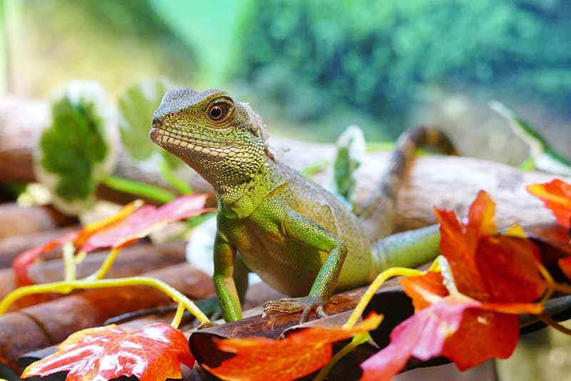 Selective focus photography of green iguana between dried leaves