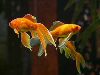 Photo of two orange pet fishes