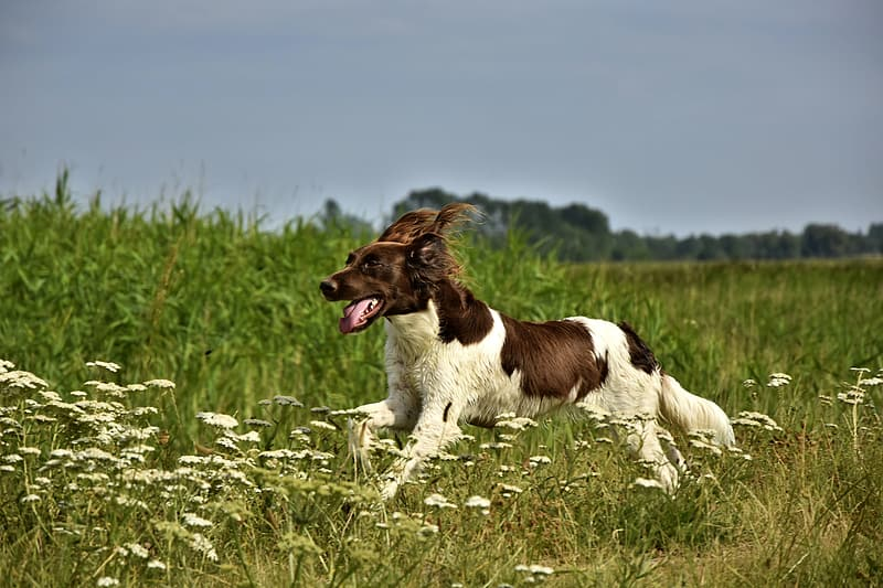 Brown and white long coated dog lying on green grass field during daytime