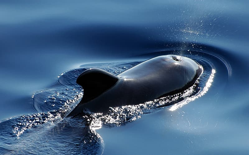 Shallow focus photography of black dolphin