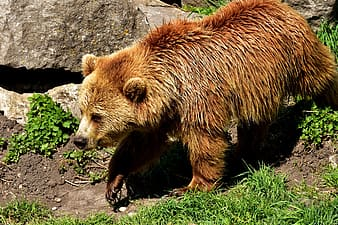 Brown bear outdoors