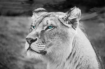 Grayscale photo of tiger