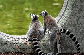 Gray and white lemur on brown and black stone