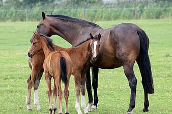 Brown horse with two colts standing on green grass field