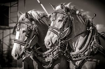 Grayscale photos of two horses