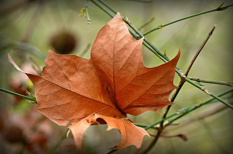 Brown leaf with water droplets
