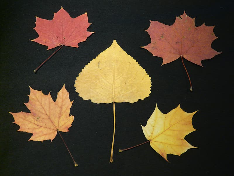 Brown and black maple leaves