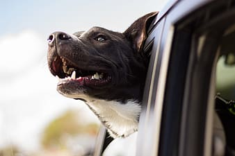 Black and white short coat dog in car