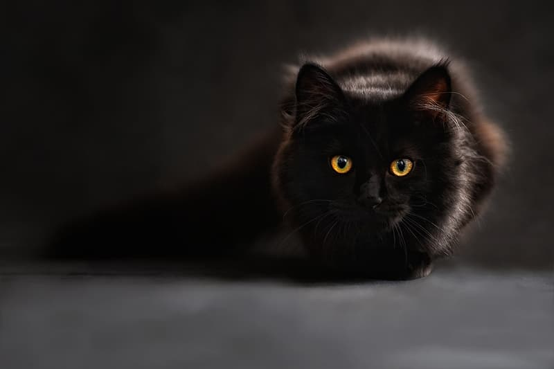 Short-fur black cat in closeup photography