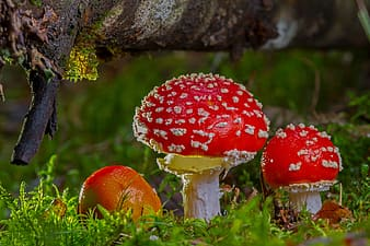Low angle view of two red mushrooms under tree stem