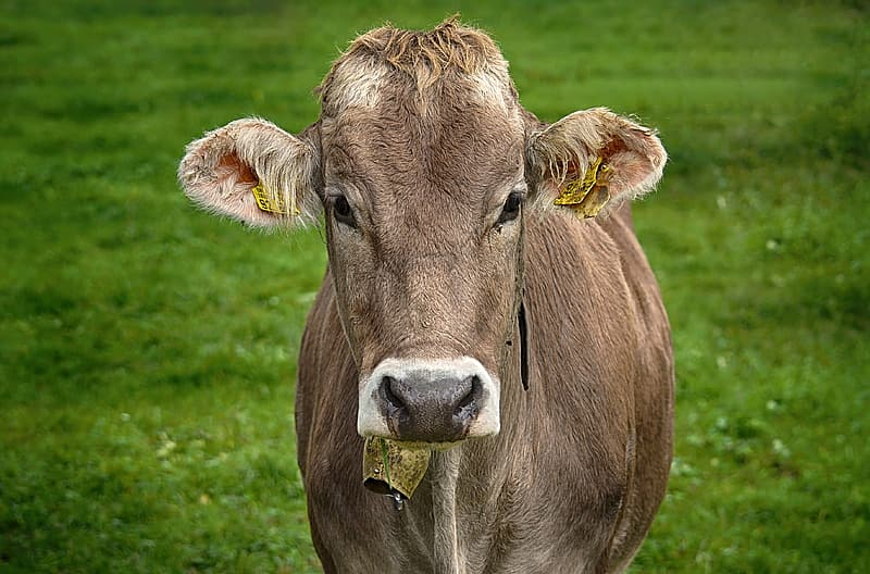 Brown cow on green grass field during daytime