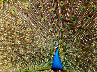 Blue, yellow, and green peacock artwork painting