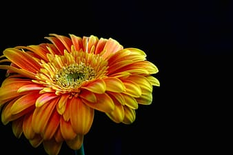 Yellow and red flower with black background