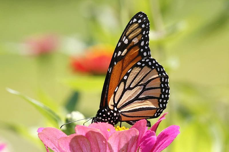 Macro photography of queen monarch butterfly on flower