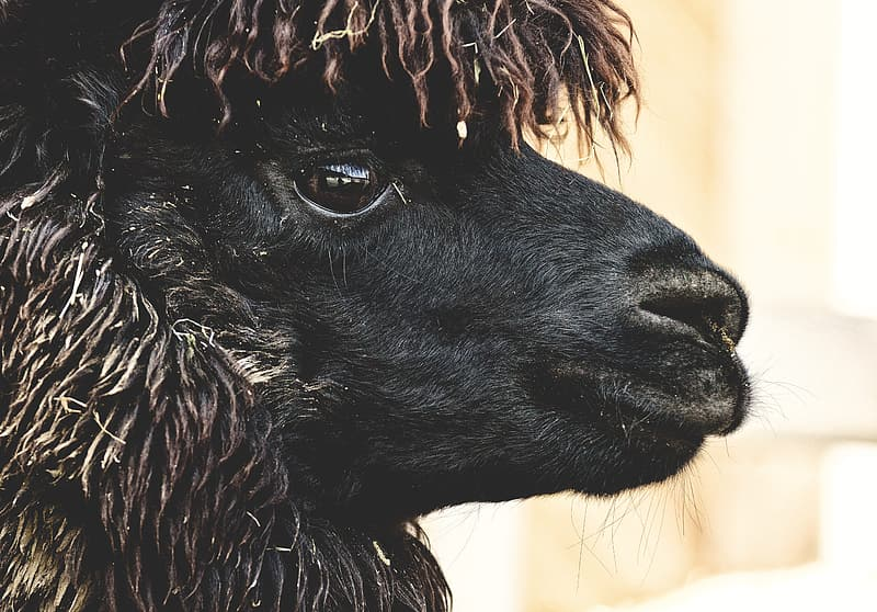 Black animal head in close up photography