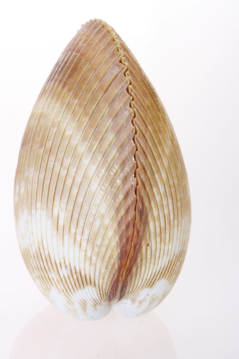 White and brown shell illustration