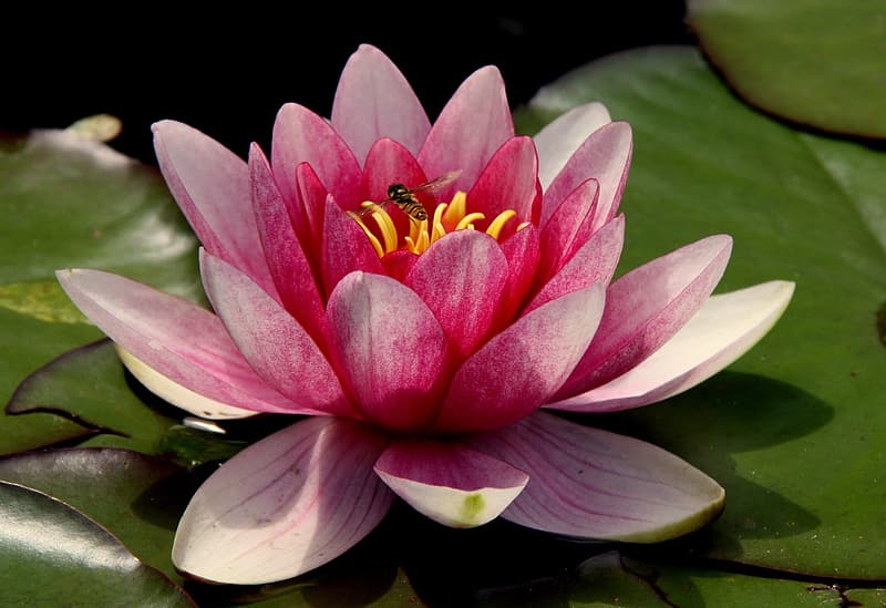 Closeup photography of lotus flower in bloom