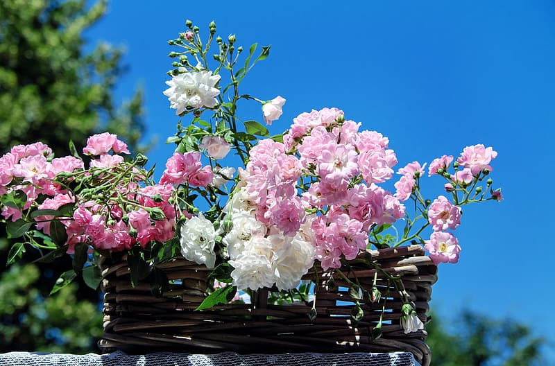 Pink and white rose flowers in brown wicker basket