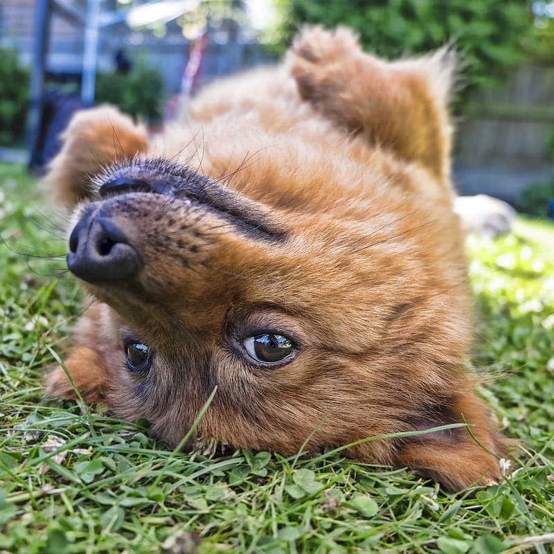 Closeup photo of tan puppy on grass field