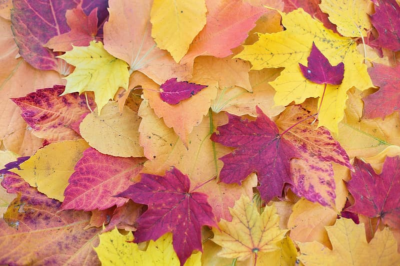 Closeup photography of purple and yellow maple leaf lot