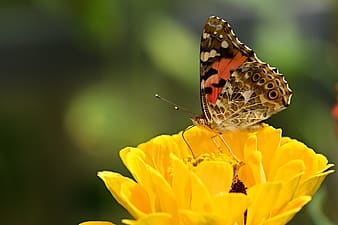 Painted lady butterfly perched on yellow flower in close up photography during daytime