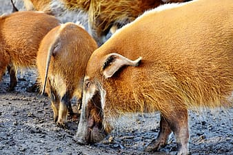 Group of wild boars