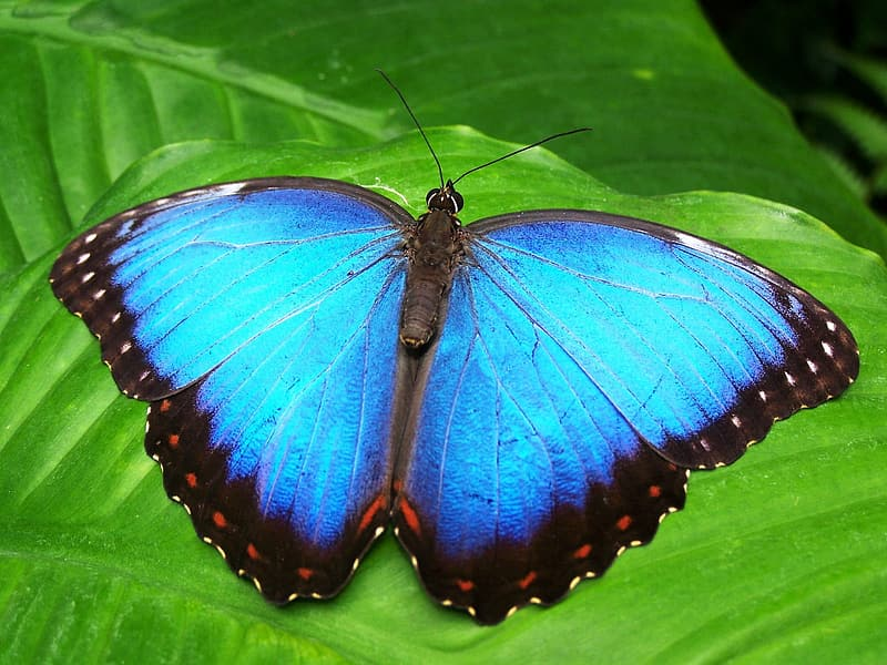 Morpho butterfly perched on green leaf closeup photography