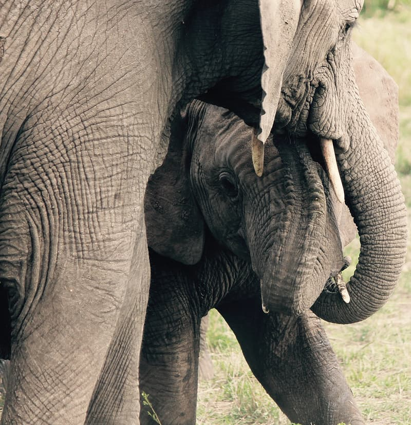 Closeup photo of elephant beside baby elephant
