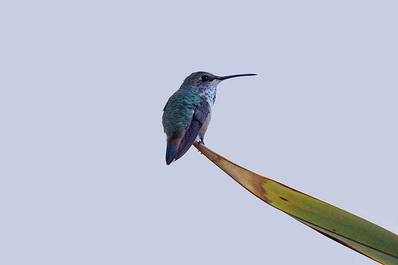 Teal hummingbird on green leaf