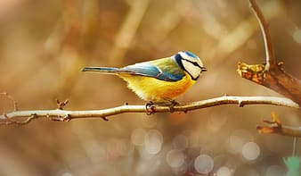 Yellow white and blue bird on brown tree branch