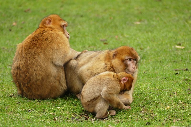Two brown monkeys on green grass during daytime