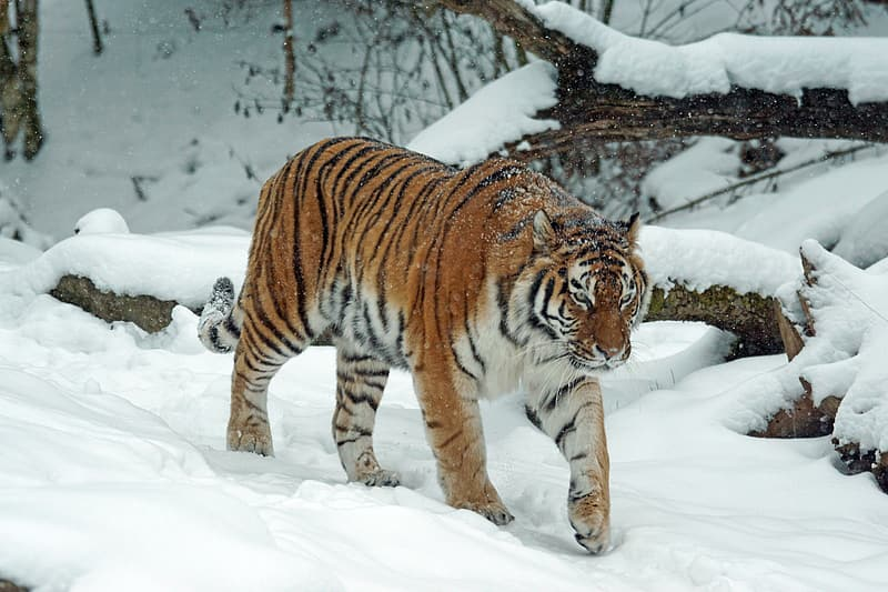 Photo of tiger in snow