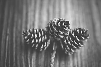 Grayscale photography of pine cones