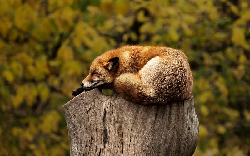 Red fox on wood trunk at daytime