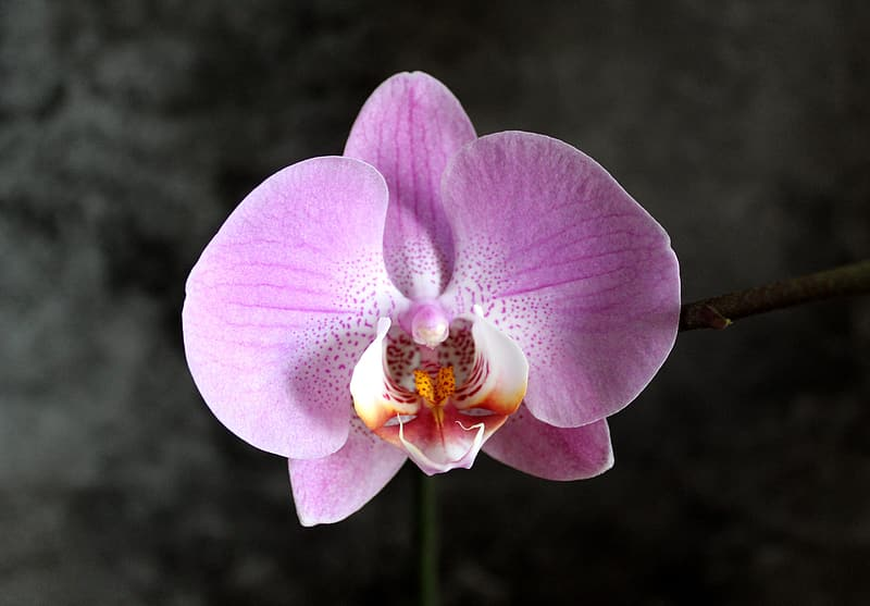 Purple moth orchid in bloom during daytime