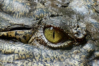 Close photo of black and brown reptile right eye
