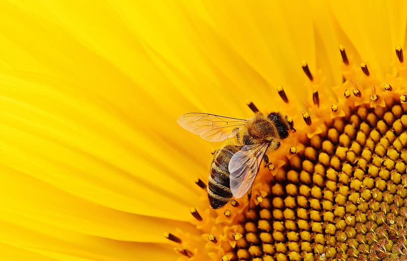 Close up photography of honey bee on yellow sunflower