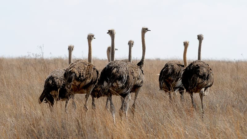 Wildlife photography of ostrich