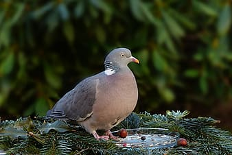 Black and gray pigeon standing on green leaf plant