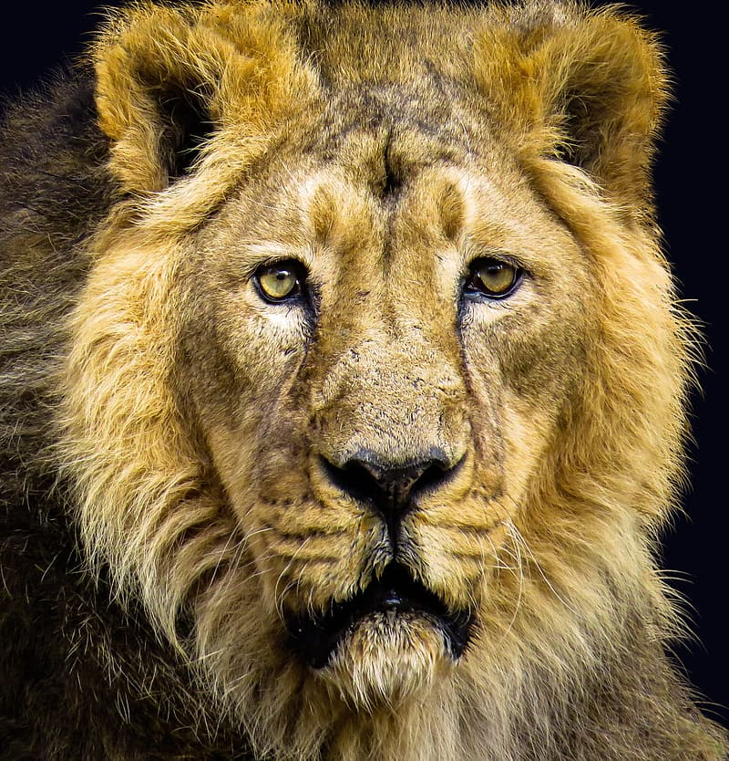 Lion face in close up