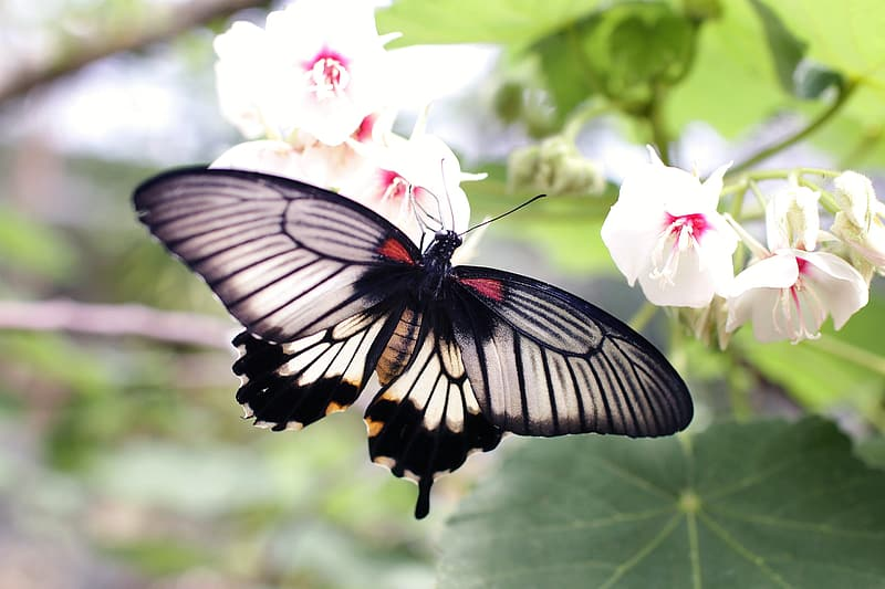 White and black swallowtail butterfly perched on white petaled flowers in closeup photo