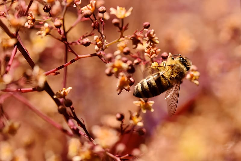 Honeybee perched on pink flower buds in close up photography during daytime