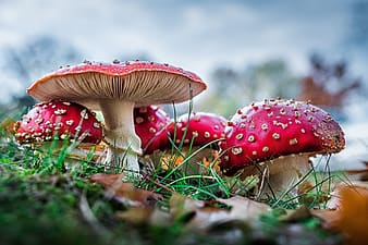 Selective focus photography of red mushroom on grass field