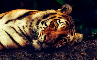 Selective focus photography of tiger lying on ground
