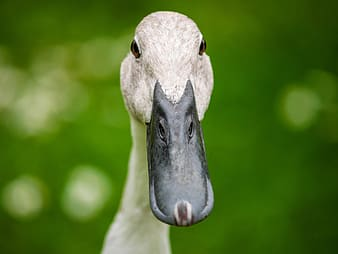 Shallow focus photography of duck during daytime