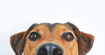 Close-up photo of short-coated black and tan dog