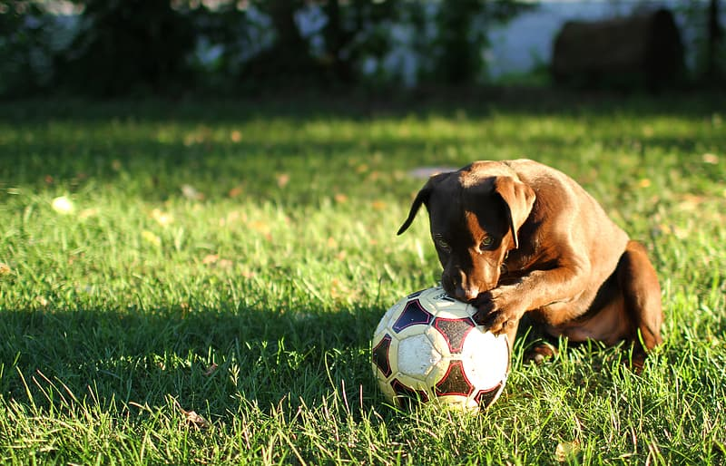Brown American pit bull terrier near white and red soccer ball on grass field